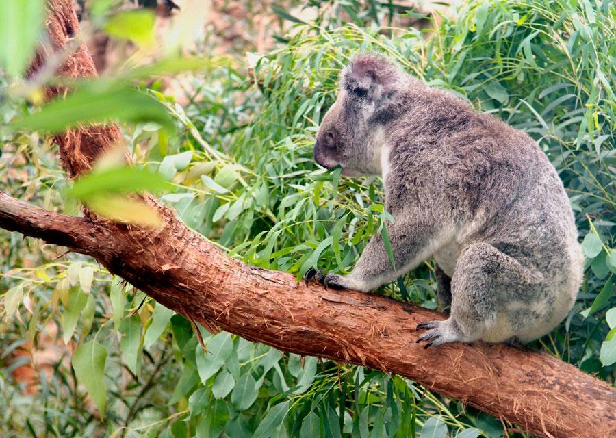 Koala, Sydney Wildlife World