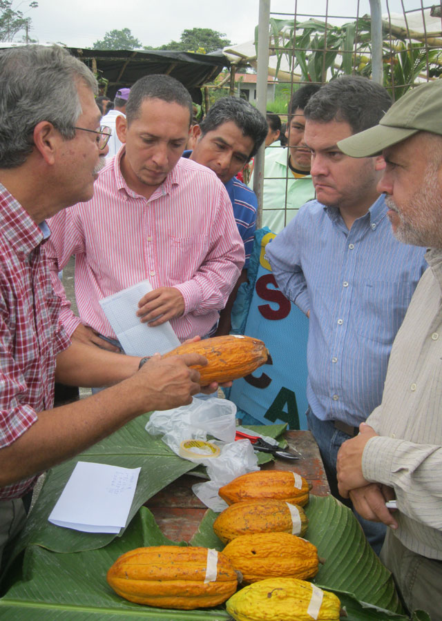 Judging the best cacao bean, Guayas province