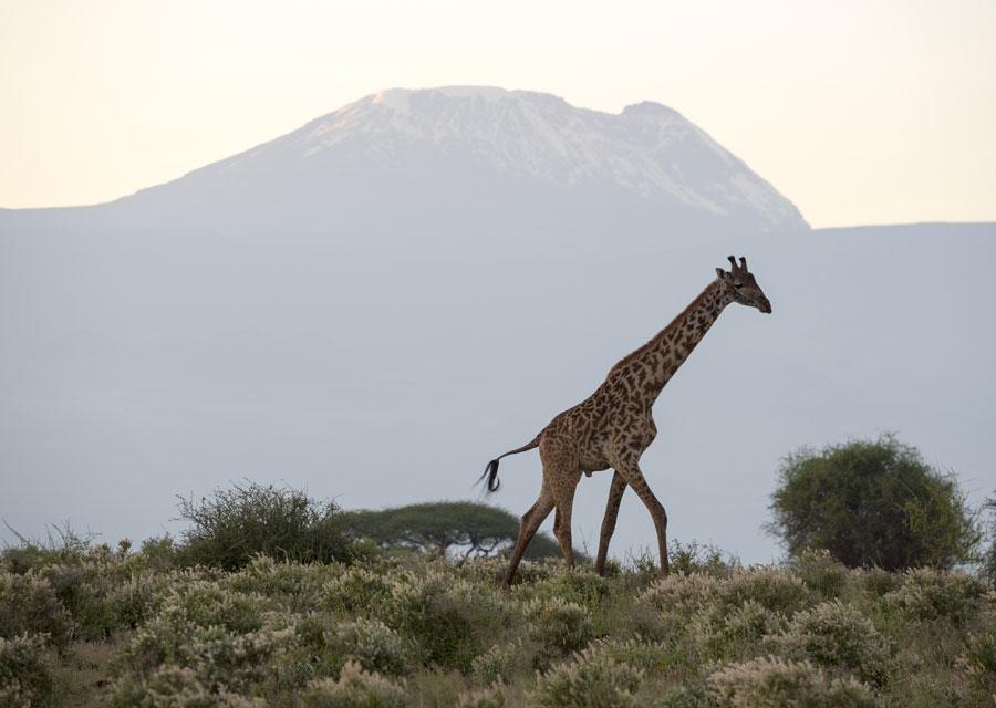Giraffe at Kilimanjaro