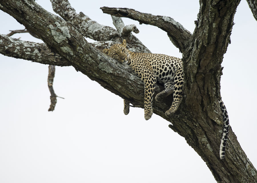 Sleeping leopard in a tree