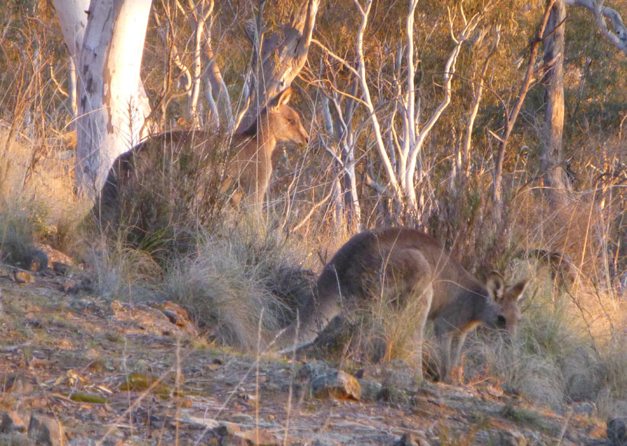 Wild kangaroos on Mount Ainslie