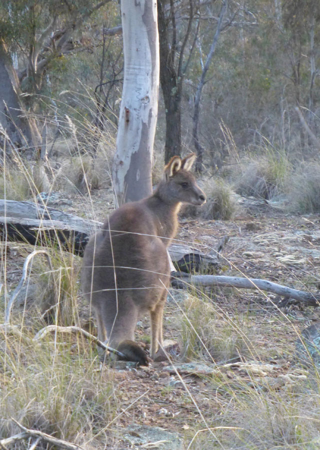 Wild kangaroo on Mount Ainslie