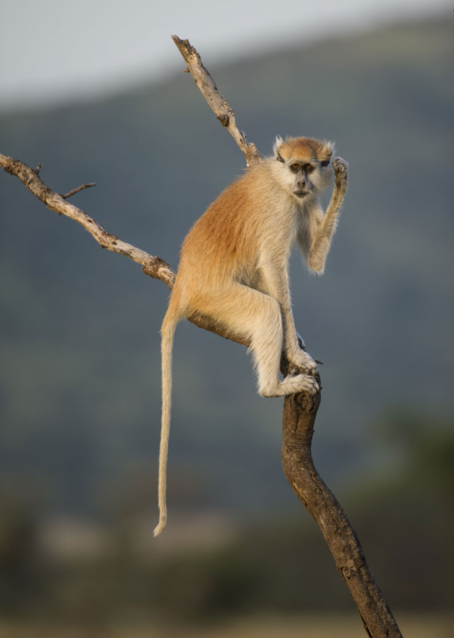 Patas monkey, Serengeti National Park