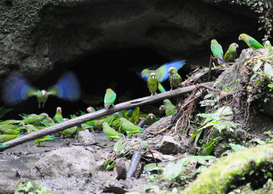 Parrots at a clay lick in Ecuador