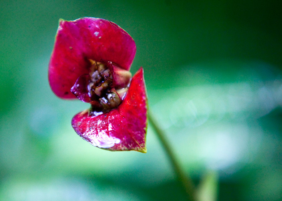 A 'hot lips' plant in the Monteverde Cloud Forest.