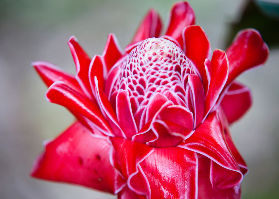 waxy torch ginger flower