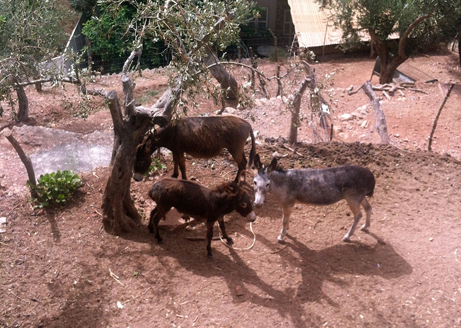 Resident donkeys, La Residencia
